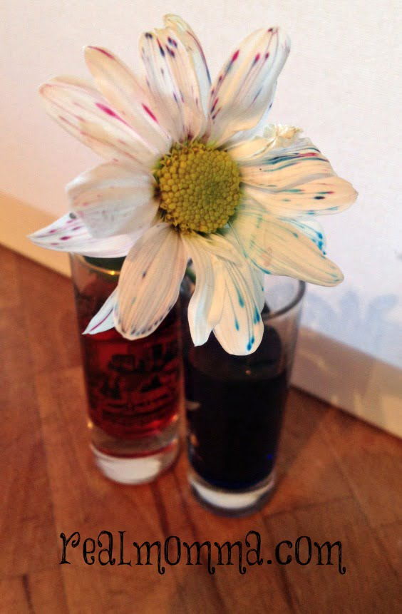 Color A Daisy Experiment