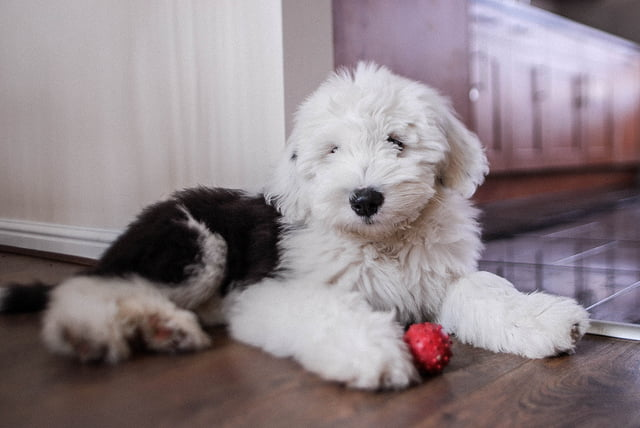 the cost and breed of a new pet