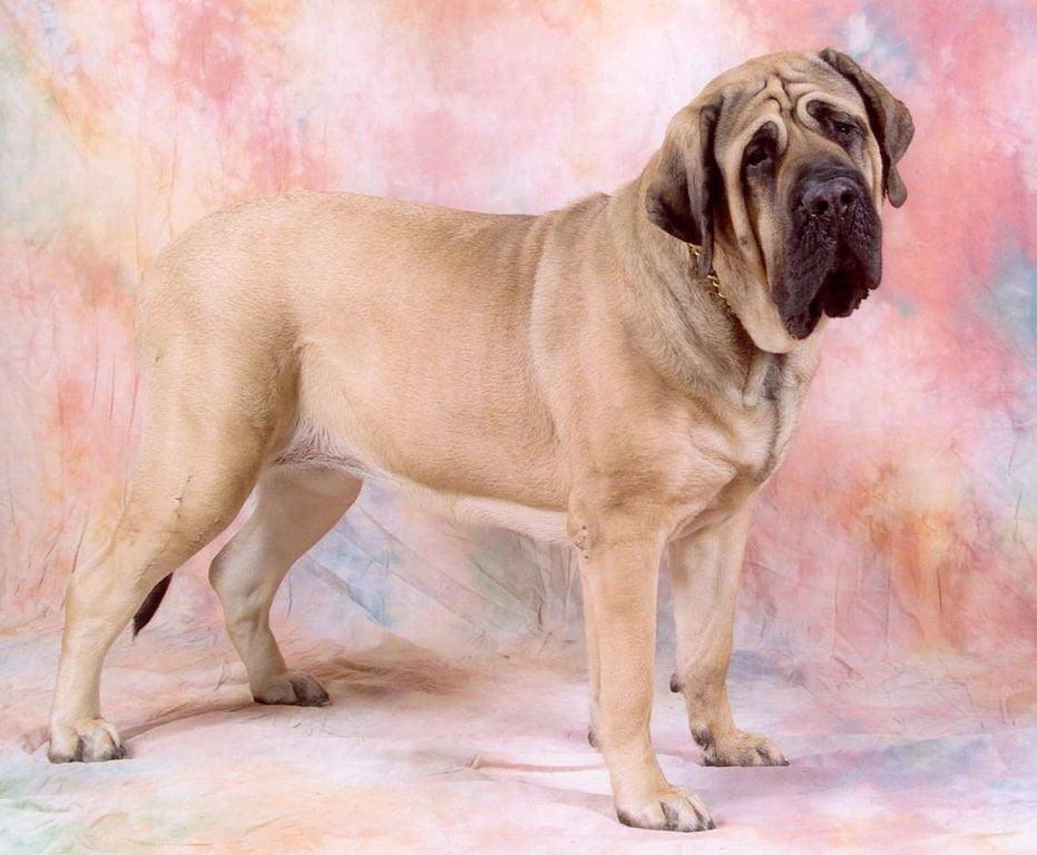 931px Mastiff 2