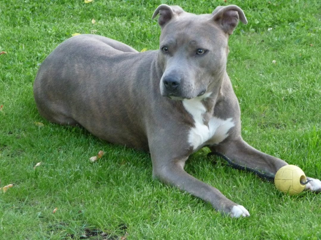 American Staffordshire TerrierCleo