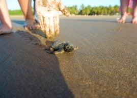 Playa Las Tortugas Turtle Release